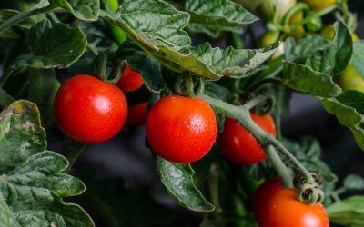 Urban Gardening: selbst gepflanzt und selbst geerntet